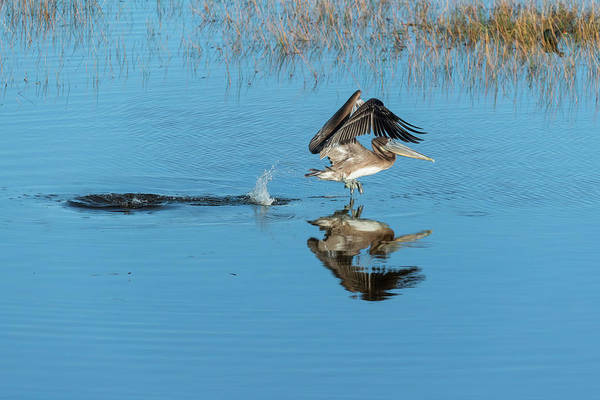 Photograph - Brown Pelican Taking Off From The Water by Dan Friend