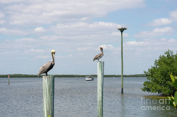 Photograph - Brown Pelicans On Pilings And An Osprey Nest In The Tarpon Bay A by William Kuta