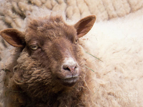 Photograph - Brown Sheep 1 by Christy Garavetto