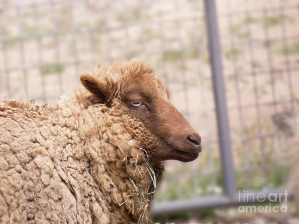 Photograph - Brown Sheep Face 3 by Christy Garavetto