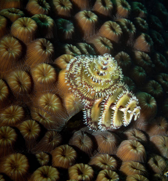 Photograph - Brown Striped Tubeworm by Jean Noren