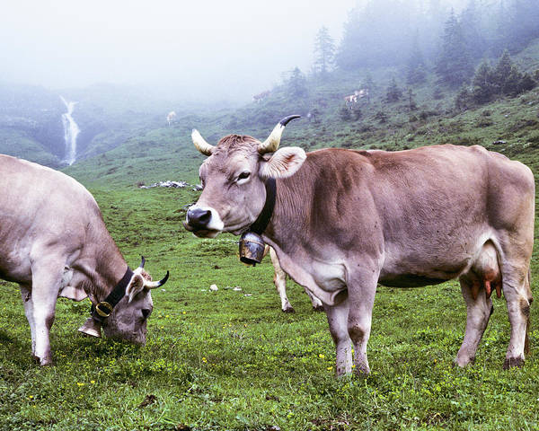 Cow Photograph - Brown Swiss Cows In A Foggy Meadow by Jeffgoulden