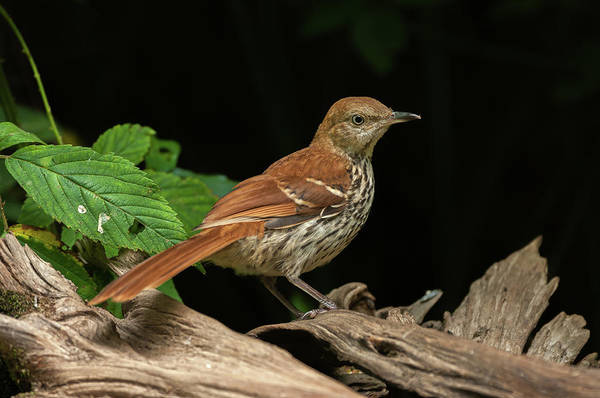 Wall Art - Photograph - Brown Thrasher - 1732 by Jerry Owens