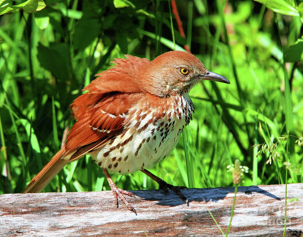 Photograph - Brown Thrasher by Debbie Stahre