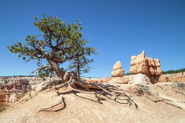 Wall Art - Photograph - Bryce Canyon Old Tree by Melanie Viola