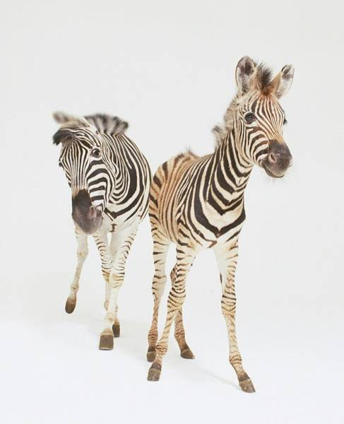 Mare Photograph - Buchells Zebra Foal And Mare by Karl Shone