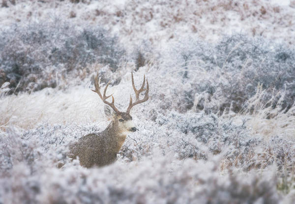 Wall Art - Photograph - Buck In The Snow by Darren White