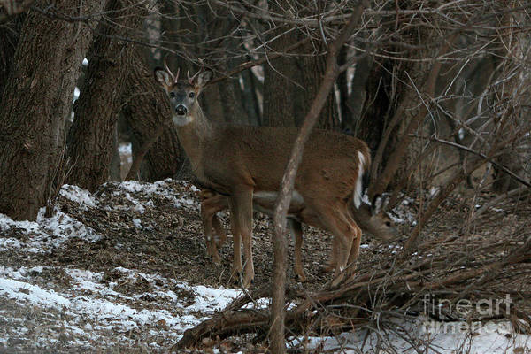 Photograph - Buck In The Tree by Lori Tordsen