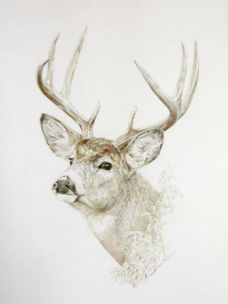 White Tailed Deer Drawing - Buck by Kathy Shuster