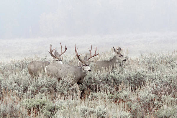 Photograph - Buck Mule Deer In Fog by Ronnie and Frances Howard