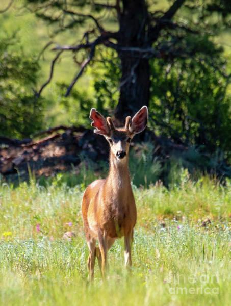 Photograph - Buck Mule Deer In The Rockies by Steve Krull