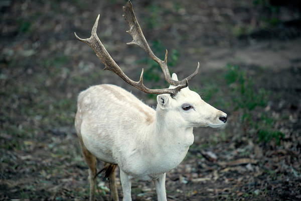 Photograph - Buck by Rob D Imagery