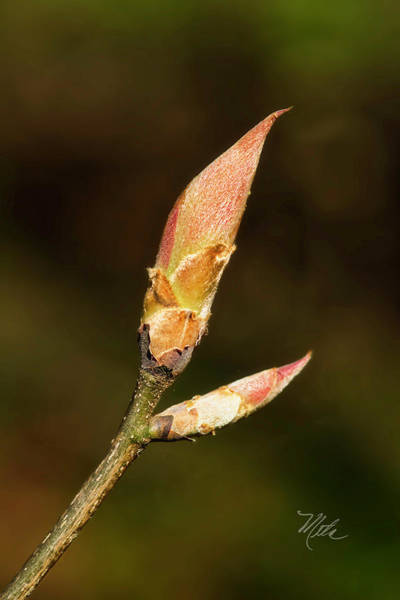 Photograph - Bud by Meta Gatschenberger