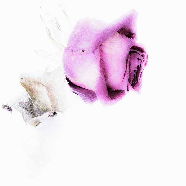 Photograph - Bud Of Dried Rose - Floral Creative Photography With Copy Space by Cristina Stefan