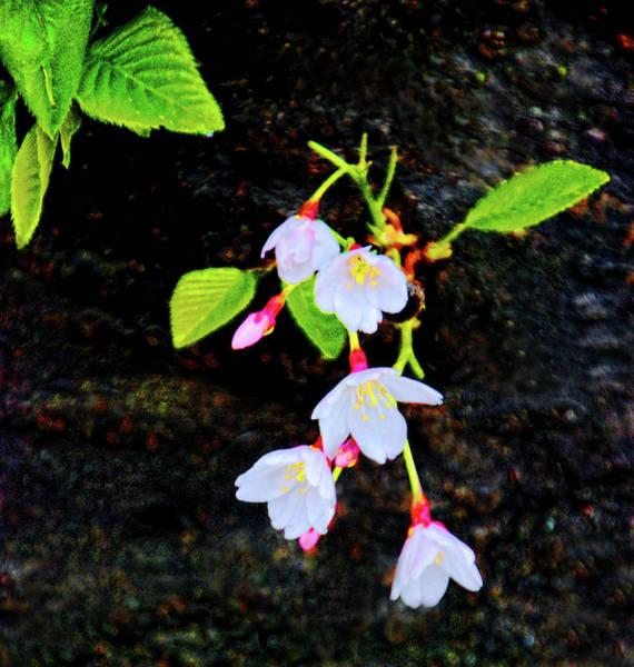 Photograph - Budding Cherry Blossoms by Bill Jonscher