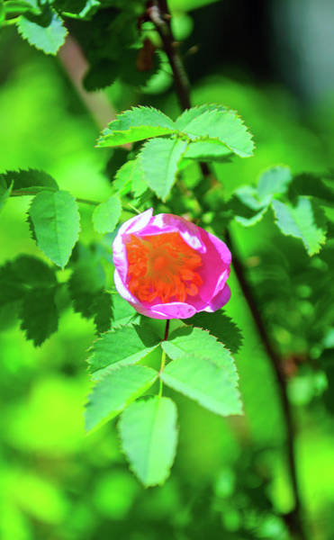 Photograph - Budding Wild Rose by Tikvah's Hope