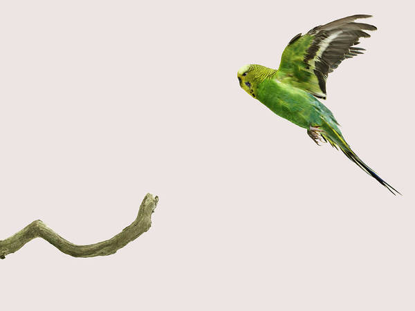 Arrival Photograph - Budgie Landing On To A Branch by Michael Blann