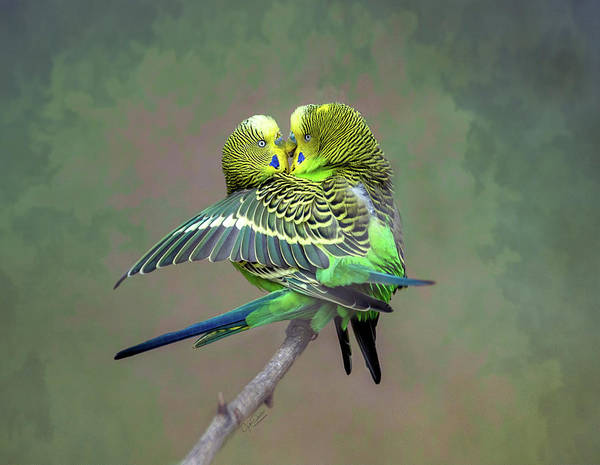 Photograph - Budgie Love by Judi Dressler