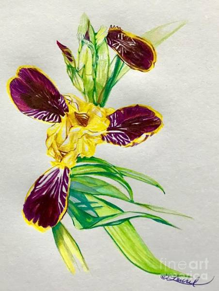 Drawing - Buds Bumblebee Iris by Laurel Adams