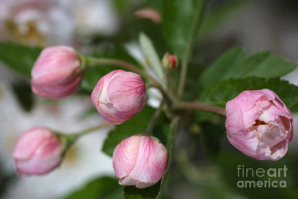 Photograph - Buds In Pink by Joy Watson