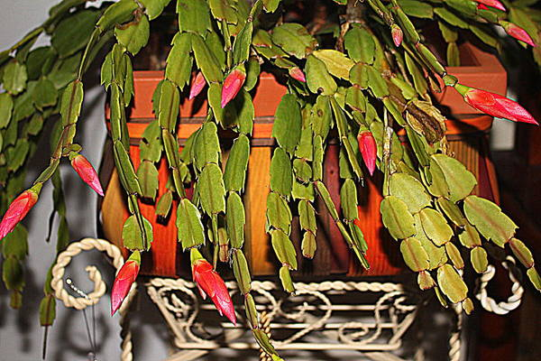 Photograph - Buds Of A Christmas Cactus by Cynthia Guinn