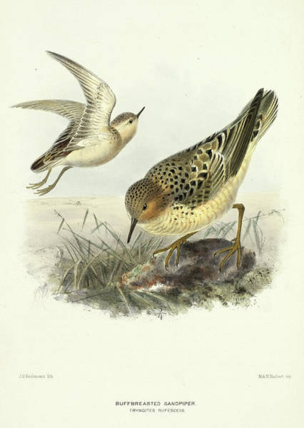Wall Art - Painting - Buff-breasted Sandpiper by Henry Eeles Dresser