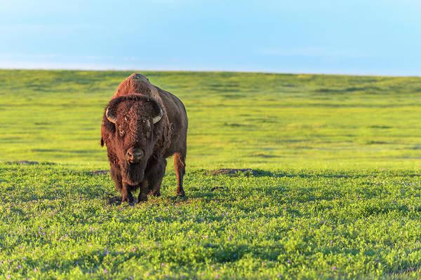 Photograph - Buffalo At Sunset by Sebastian Musial