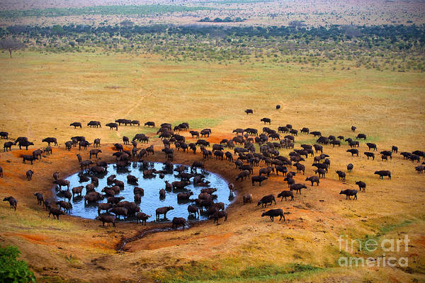 Amboseli Wall Art - Photograph - Buffalo At The Source by Andrzej Kubik