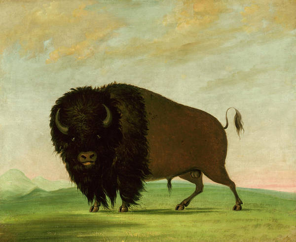 Wall Art - Painting - Buffalo Bull, Grazing On The Prairie by George Catlin