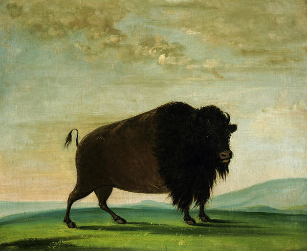 Wall Art - Painting - Buffalo Cow, Grazing On The Prairie, 1833 by George Catlin