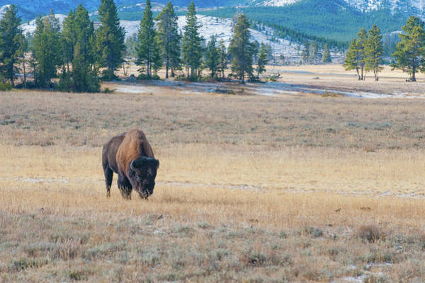 Photograph - Buffalo In Yellowstone by Mark Duehmig