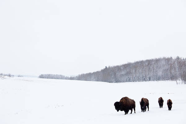 Canada Photograph - Buffalo Or Bison On The Plains In Winter by Imaginegolf