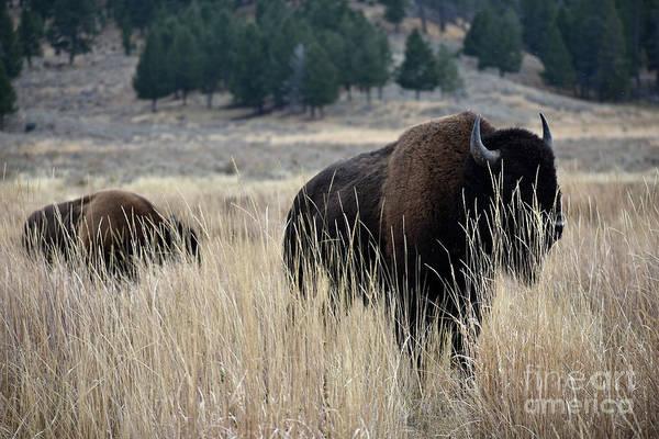 Photograph - Buffalo Prairie Spirit by Rose De Dan