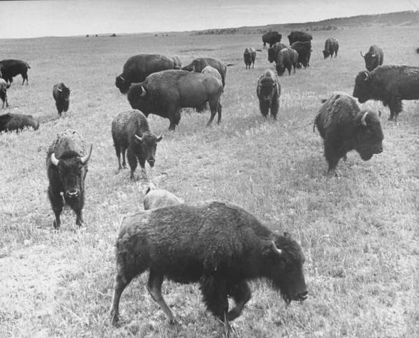 South Buffalo Photograph - Buffaloes Roaming In Custer State Park by Alfred Eisenstaedt