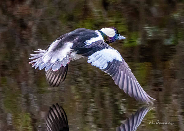 Photograph - Bufflehead 0942 by Dan Beauvais