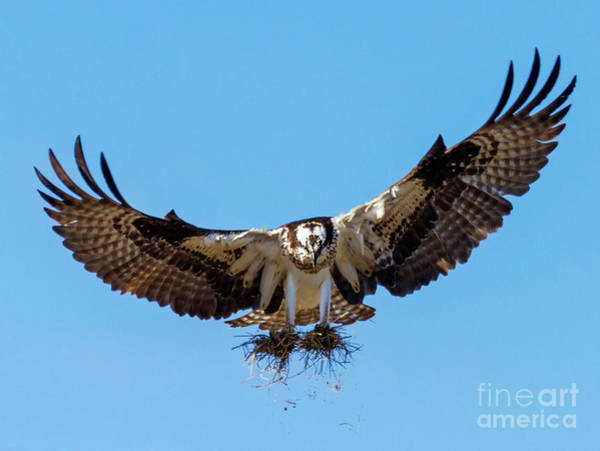 Ospreys Photograph - Building A Nest by Mike Dawson