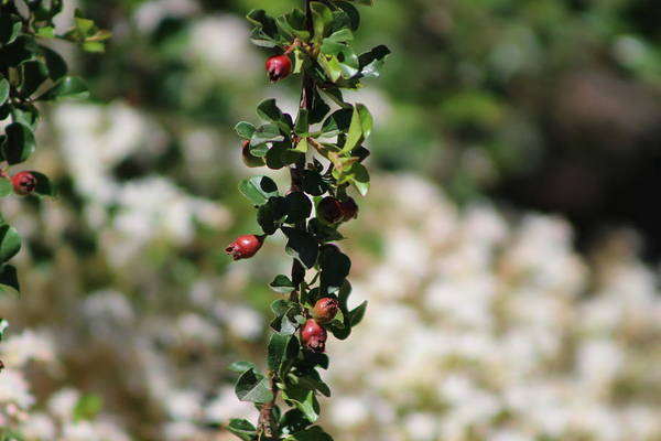 Photograph - Bulgarian Rose Crabapples On Branch by Colleen Cornelius