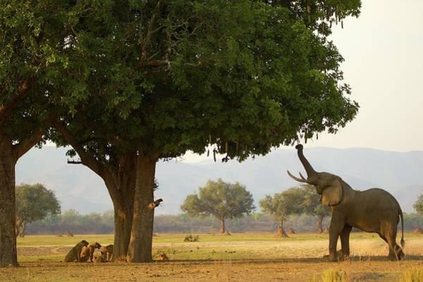 Hiding Photograph - Bull African Elephant Loxodonta by David Fettes