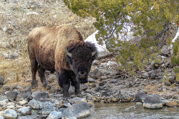 Photograph - Bull Bison by Michael Chatt