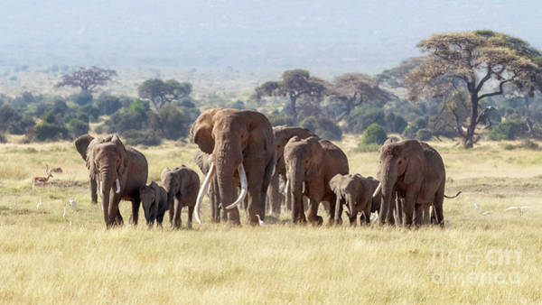 Big Five Photograph - Bull Elephant With A Herd Of Females And Babies In Amboseli, Kenya by Jane Rix