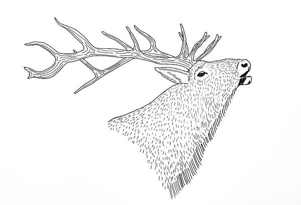 Elk Mountain Drawing - Bull Elk by Aaron Geraud