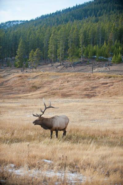 Photograph - Bull Elk Bugles by Mark Duehmig