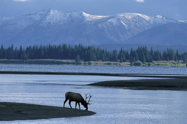 Waters Edge Photograph - Bull Elk Cervus Elaphus Drinking From by Gallo Images-robert Nunnington