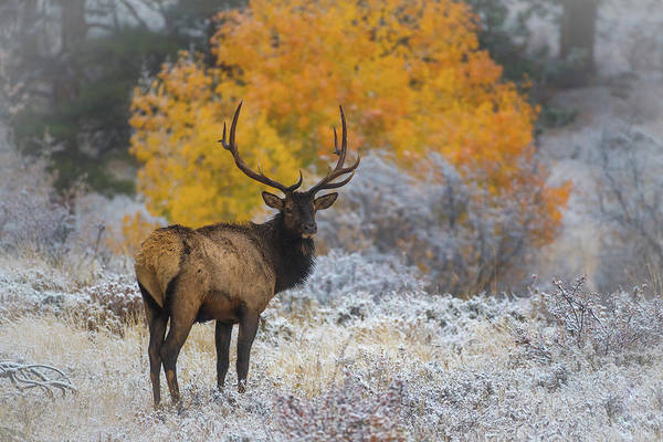 Photograph - Bull Elk In A Frozen Autumn by Gary Kochel