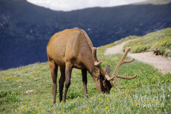 Wall Art - Photograph -  Bull Elk Next To The Trail by Jeff Swan