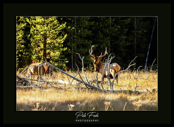 Photograph - Bull Elk by Pete Federico