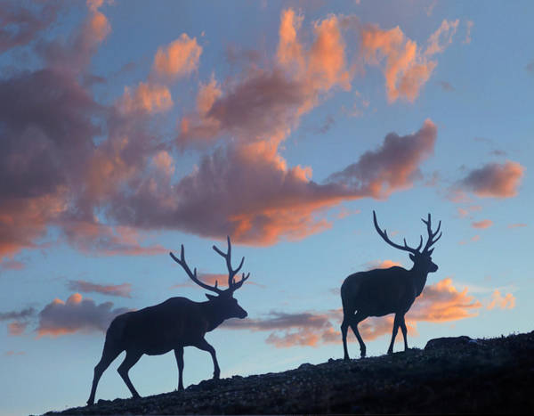 Wall Art - Photograph - Bull Elk, Rocky Mountain National Park by