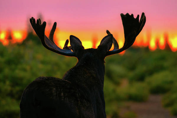 Photograph - Bull Moose Illuminated By The Dawn Of A New Day by Gary Kochel