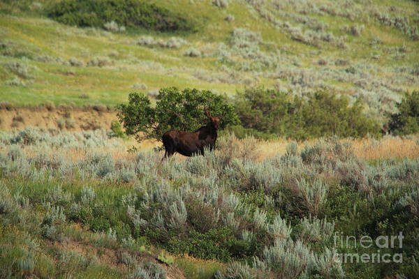 Wall Art - Photograph - Bull Moose In Early Summer by Jeff Swan