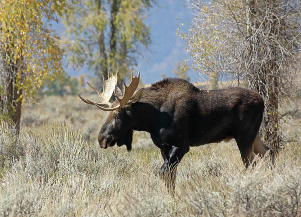 Photograph - Bull Moose In Sage by Jean Clark